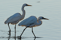 Snowy egrets on the San Diego River at sunset